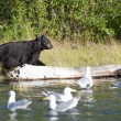 Black Bear in Alaska — Foto Stock