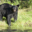Black Bear in Alaska — Stock Photo
