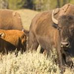 Buffalo Bison in Yellowstone — Stock Photo #28175801