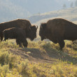 Buffalo Bison in Yellowstone — Stock Photo