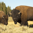 Buffalo Bisons im yellowstone — Stockfoto