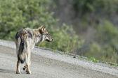 Denali grey wolf — Stock Photo