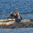 Stock Photo: SeLions Seal on rocks