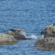 Sea Lions Seal on the rocks — Stock Photo #28429105