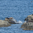 Stock Photo: Sea Lions Seal on the rocks