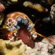 Mantis Lobster defending eggs — Stock fotografie
