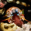 Foto de Stock  : Mantis Lobster defending eggs
