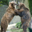 Stock Photo: Two black grizzly bears while fighting