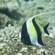 Stock Photo: Moorish idol