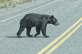 A black bear crossing the road — Stock Photo