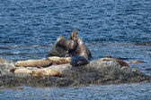 Sea Lions Seal on the rocks — Стоковое фото