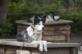 Sled dog while resting — Stock Photo