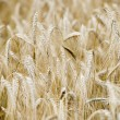 Stock Photo: Mature Grain wheat field