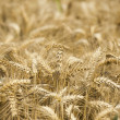 Mature Grain wheat field — Stock Photo