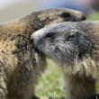 Two Marmot while playing — Foto Stock