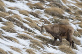 Chamois deer looking for food — Stock Photo
