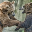 Two black grizzly bears while fighting — Stock Photo