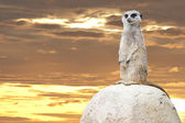 Isolated meerkat looking at you — Stok fotoğraf