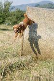 Chien chiot cocker spaniel sautant du blé — Photo