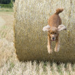 Dog puppy cocker spaniel jumping hay — Stock Photo