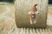 Köpek yavrusu yavru horoz i̇spanyol saman atlama — Stok fotoğraf