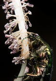 Green metallic beatle Cetonia aurata — Stock Photo