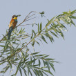 Bee eater on tree — Stock Photo #29502903