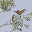 Bee eater on the tree — Stock Photo