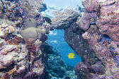 Butterly angel fish yellow and blue in the reef background — Stock Photo