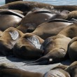Frisco Harbor seals relaxing on pier — Stock Photo #30589051