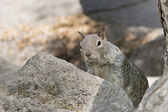 Grey squirrel portrait — Stock Photo