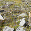 Ground canadian squirrel — Stock fotografie