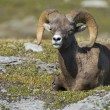 Big Horn portrait — Stock Photo