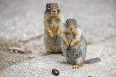 Ground canadian squirrel — Stock Photo