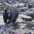 Black Bear while crossing the river — Foto de Stock