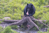 Black Bear while eating — Stok fotoğraf