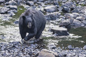 Black Bear while crossing the river — Stok fotoğraf