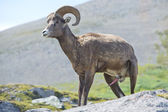 Male Big Horn portrait — Stock Photo