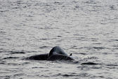 Humpback whale tail — Photo