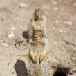 Ground squirrel portrait — Stock Photo
