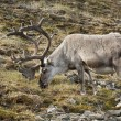 Wild reindeer in Spitzbergen — Stock Photo