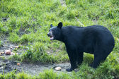 A black bear while eating — Стоковое фото