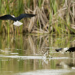 Stock Photo: Black-winged stilt while fighting