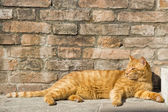 A red cat relaxing — Stock Photo