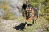 German shepard while running to you — Stock Photo