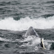 Humpback whale in Alaska — Foto de stock #34797111