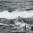 Foto Stock: Humpback whale in Alaska