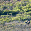 A moose in Denali Park  — Stockfoto