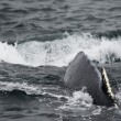 Humpback whale in Alaska — Foto Stock