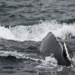 Humpback whale in Alaska — Stockfoto